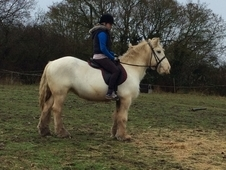 14. 2 very sweet cob mare