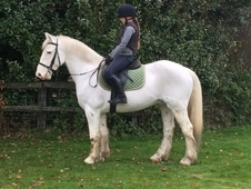 14. 3hh Handsome Irish 7yo Appaloosa gelding