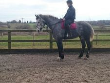 Quality Full Irish draught, 4 yr old, 17. 3 hh, Grey Gelding,