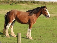 PURE BRED CLYDESDALE 4YO MARE