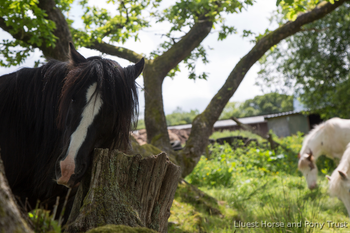 Black Cob mare for long term loan - Charity rehome