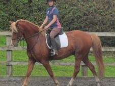 Welsh Sports Pony
