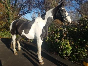 10 year old Bombproof 17hh Irish Sport Horse Gelding