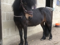 Beautiful Cayberry Dartmoor pony 11.2 hh