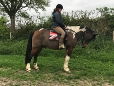 Handsome 15. 1HH Coloured gelding