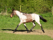 Yearling filly -striking bay roan