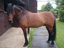 Morgan Gelding for Sale 14. 2hh 13 Years Old Bay