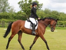 Stunning all rounder or Top class large riding horse
