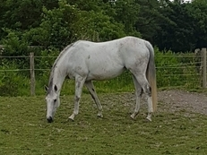 Gorgeous Grey Broodmare