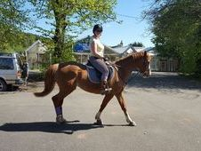 16hh ISH mare for sale