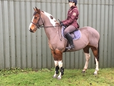 15. 2 allrounder mare GS Oberon