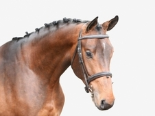 Special 16. 2 Bay Warmblood Stallion