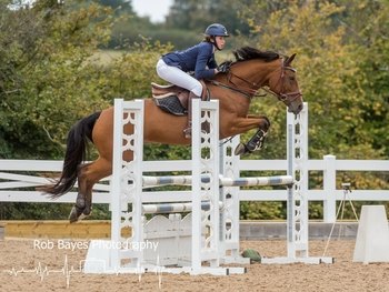 All rounder/showjumper 15h1 bay mare 5 years old