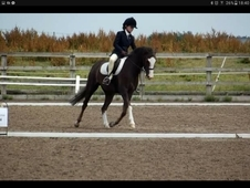 Beautiful Welsh gelding 13, 2hh