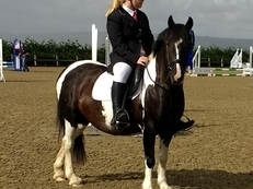 Now SOLD to a lovely home -13.1HH Mini Coloured Cob