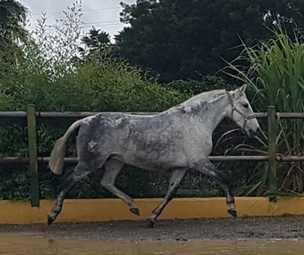 Selection of quality spanish horses