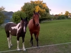 Rising 2 year old beautiful mover cob cross gelding