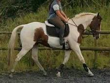 Beautiful irish sport horse mare