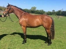 Vittorio x burgraaff lovely 5 year old mare