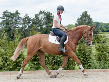 Exciting 5YR Old Mr Darcy Eventing Prospect