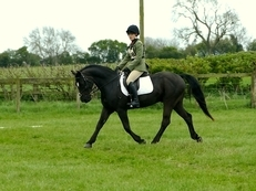 **STUNNING SJ/HUNTING/DRESSAGE PONY**
