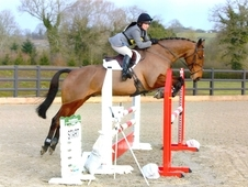 Irish Sports Horse, Bay, Gelding, 9 years, 16. 1 hands