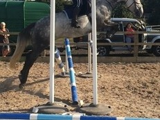 Very sweet 15.2hh 7y/o mare for part loan