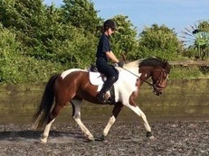 14.1hh Fabulous Dressage Prospect BYRDS