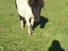 Gorgeous Mini Shetland Pony for Sale