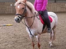 'LOLA' 13. 2 registered new forest mare