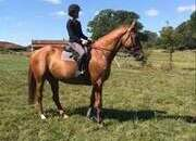 Superb 16.3hh ISH 7 year old