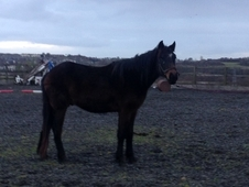 Connemara Gelding To Mature 15. 2hh Ready To Break