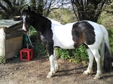 Stunning 15.3 Bay Tobiano Welsh X Warmblood.