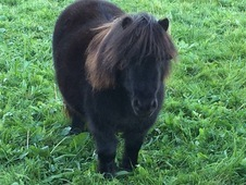 Superstar Miniature Shetland Pony for sale