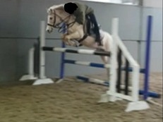 13hh palomino sold from field