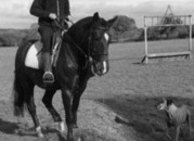 All rounder Irish Cob Gelding