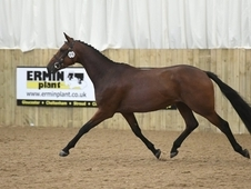 Potential Young Event Horse