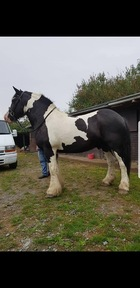 £3,500 ONO For Sale For sale Bob is a 16.2 hh heavy weight coloured cob. 11 year