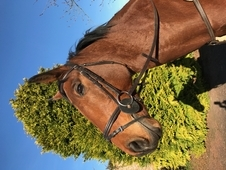 16. 2hh Bright Bay Gelding, 13years Old, ISH x Holstein
