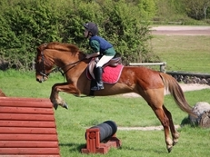 13.3hh Registered Part Bred Connemara X TB Pony