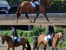 13.3hh Dun mare. 6yr old Commamara X