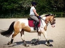 14.2 Dun and White Coloured Gelding 5 Year Old