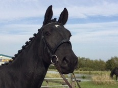Stunning Hanoverian mare/ potential eventer/dressage