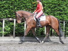 SUPER POTENTIAL EVENTER/RIDING CLUB HORSE