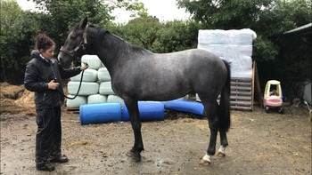 ISH/WB rising 3yr old mare - top breeding