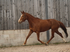 Talihina Sky- Potential Eventing/Dressage horse