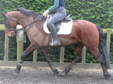 SUPER PONY CLUB PONY/DRESSAGE OR WHP