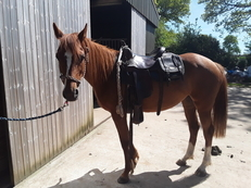 SPIRIT OF AUTUMN 14,3hh solid appalossa
