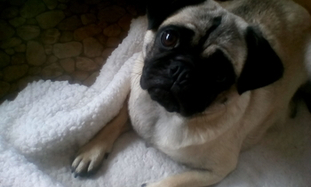 pure pug pups x 3 boys ready 1 november   not kc reg