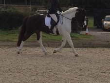 Great allrounder 16hh